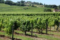 Druiven bij Bergerac